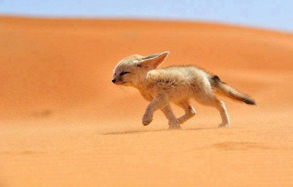 Fox Fenech runs against the wind in the desert in Morocco.