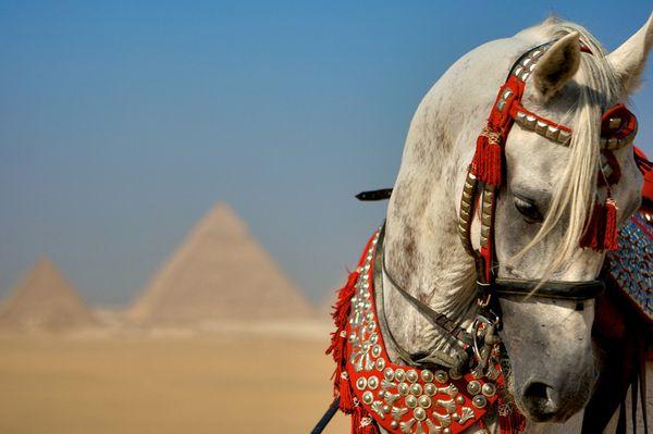 Arabian Stallion, Giza
