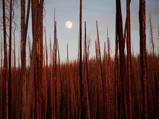 burnt-trees-yellowstone