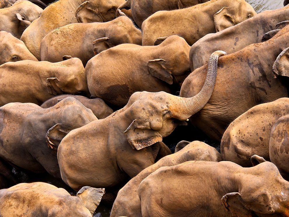 Pinnawala Carte Sri Lanka.Elephants At The Elephant Orphanage In Pinnawala Sri Lanka