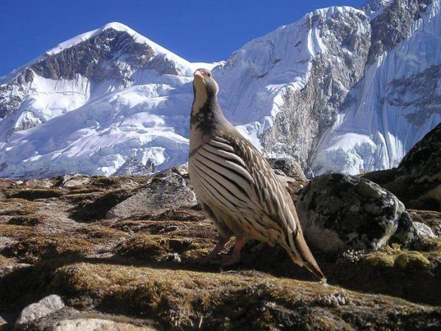 Himalayan-Bird-Ready-to-fly-Himalaya