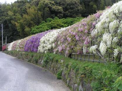 Flower-Tunnel-Kawachi-Fuji-Gardens-Fukuoka-Kitakyusyu-Japan 2
