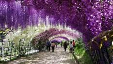 Wisteria-Tunnel-Kawachi-Fuji-Gardens-Fukuoka-Kitakyusyu-Japan 3