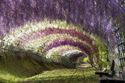 Wisteria-Tunnel-Kawachi-Fuji-Gardens-Fukuoka-Kitakyusyu-Japan 6