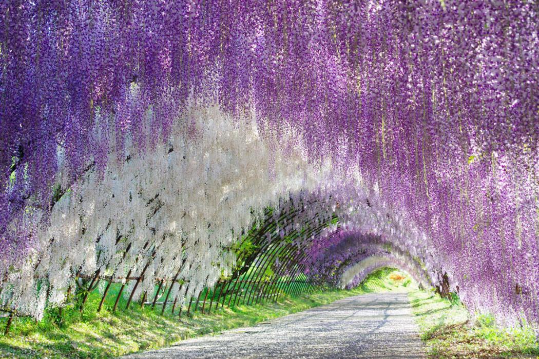 Sesya 39 s blog terowongan alami dari bunga di jepang Wisteria flower tunnel path in japan