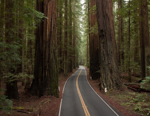 humboldt-california-Redwood-Trees