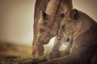 PANTHERA-LionessGreeting