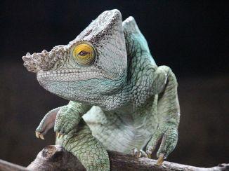 Chameleon-TheGoldenEye-ChesterENGLAND