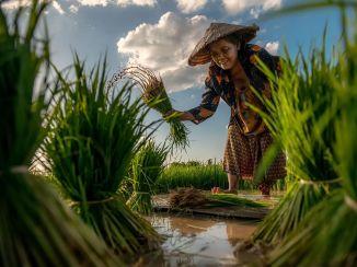 HarvestingRice-Woman-Thailand
