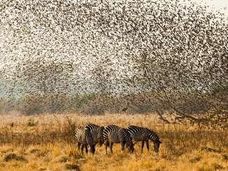 FlockingTogether-Zebra-Quelia-Zambia