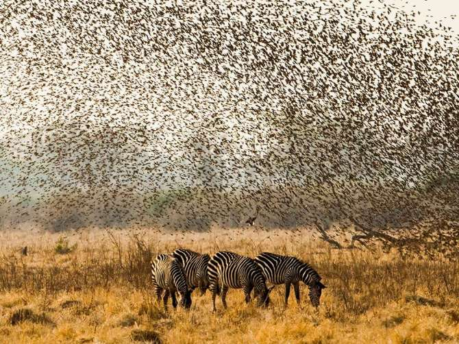 FlockingTogether-Zebra-Quelia-Zambia