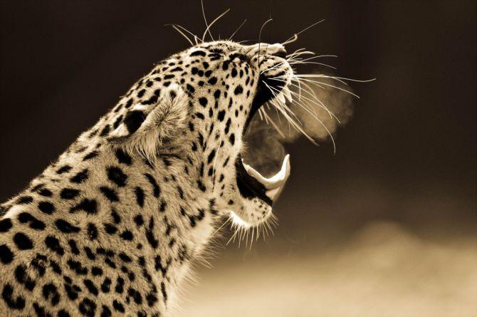 BigCatportrait-Cheetah