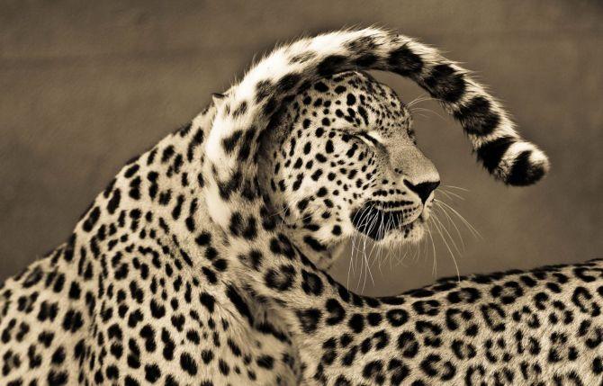BigCatportrait-Cheetah1