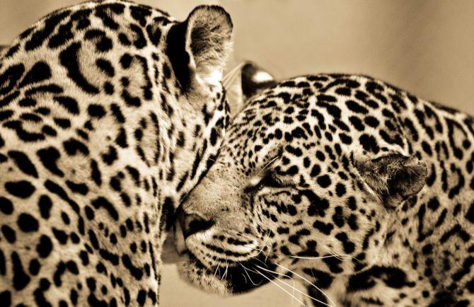 BigCatportrait-Leopards