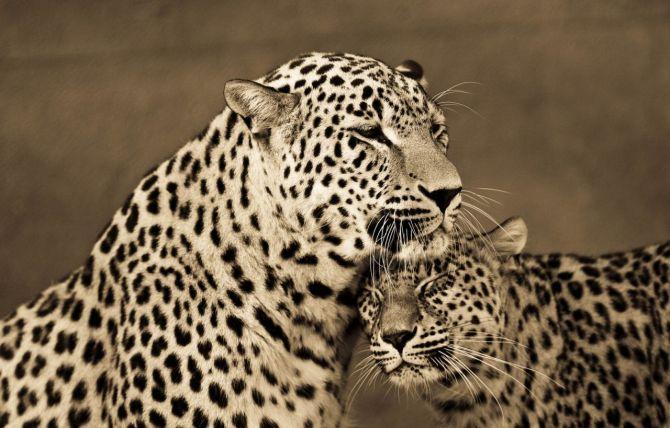 BigCatportrait-Leopards1