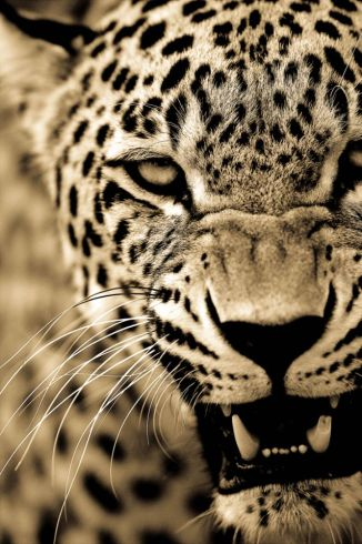 BigCatportrait-Leopards2