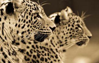 BigCatportrait-Leopards3