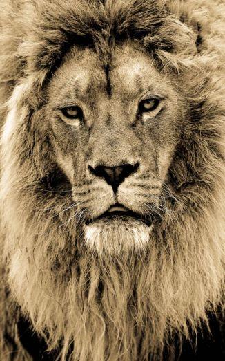 BigCatportrait-Lion