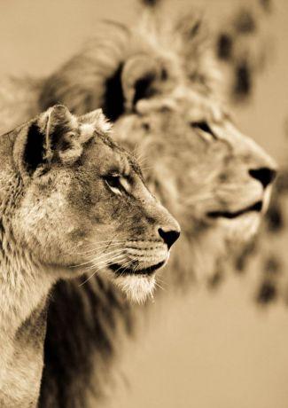 BigCatportrait-Lion1