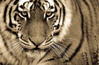 BigCatportrait-Tiger