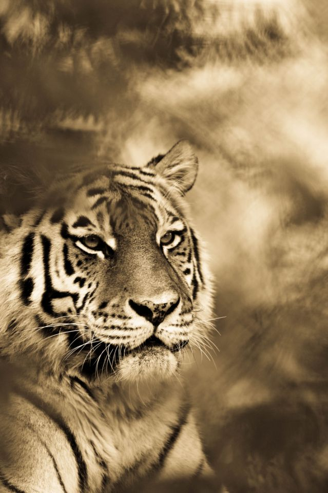 BigCatportrait-Tiger1